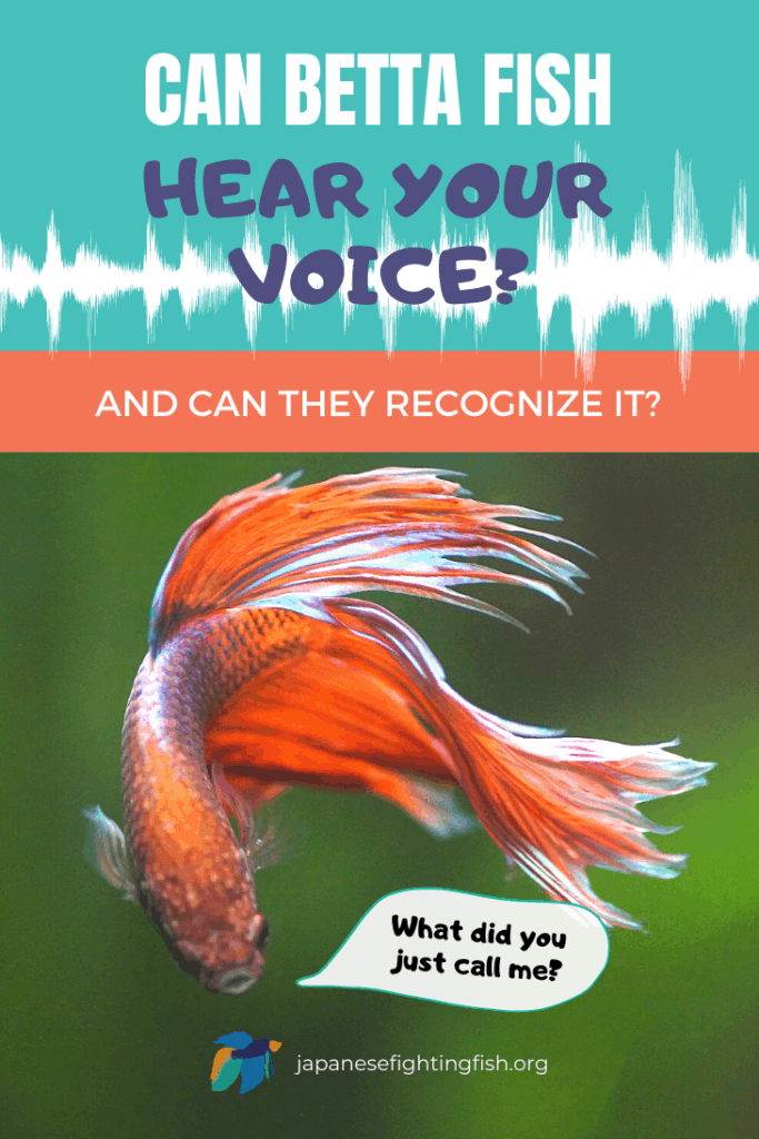 Can Betta Fish Hear Your Voice? Can They Recognize Their Owner's Voice? - JapaneseFightingFish.org