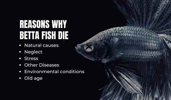 Reasons Betta Fish Can Die