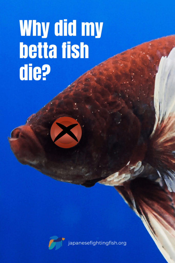 Why did my betta fish die? - Betta Fish Causes of Death - JapaneseFightingFish.org
