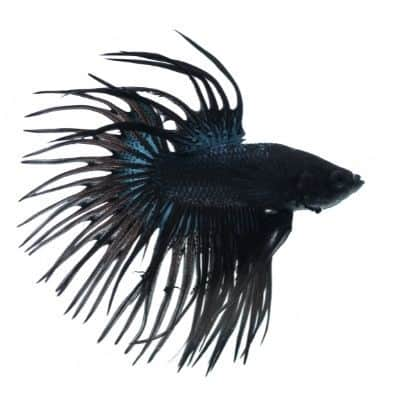Black Crowntail Betta Fish