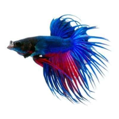 Blue and Red Crowntail Betta Fish