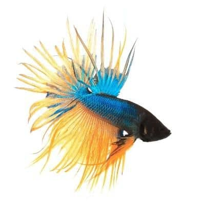 Blue and Yellow Crowntail Betta Fish