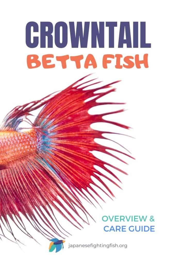 Crowntail Betta Fish Care Guide and Overview - JapaneseFightingFish.org