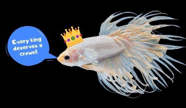 Crowntail Speech Bubble