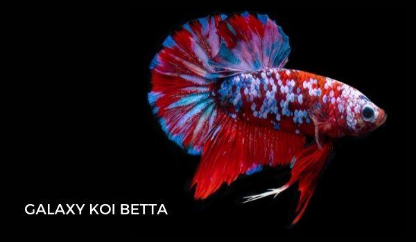 Galaxy Koi Betta Fish