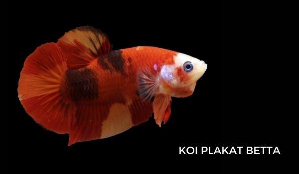 Koi Plakat Betta Fish