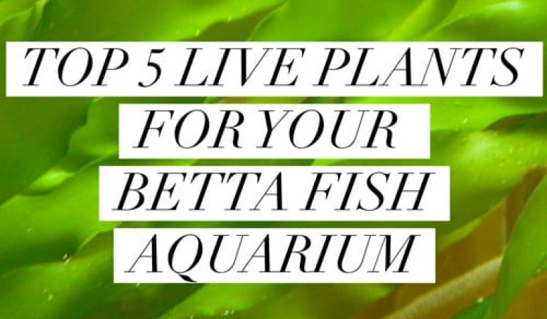 Top 5 Favorite Plants What Are The Best Plants For A Betta Fish Tank