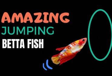 Amazing Jumping Betta Fish and Aquarium!