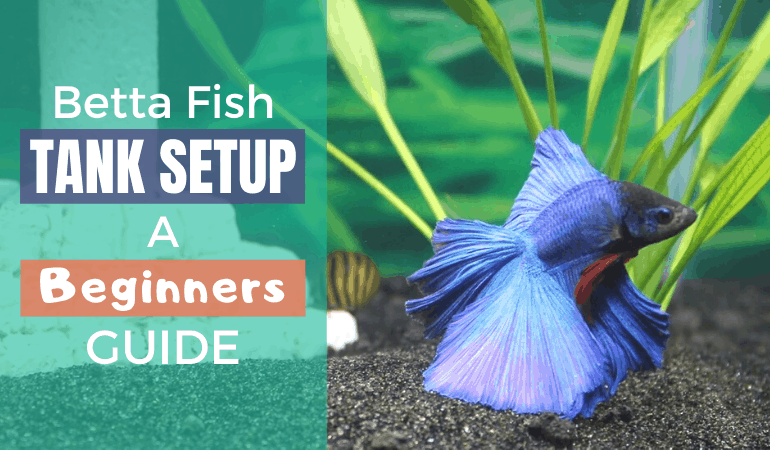 A Beginners Guide to Setting up a Betta Fish Tank