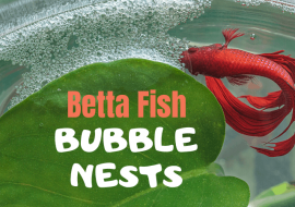 Betta Fish Bubble Nest: Why Are They Made & What Do They Mean?