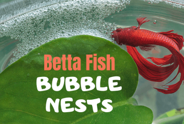 Betta Fish Bubble Nests