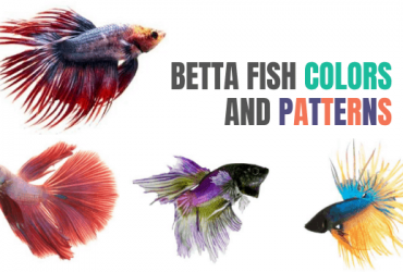 The Different Betta Fish Colors and Patterns
