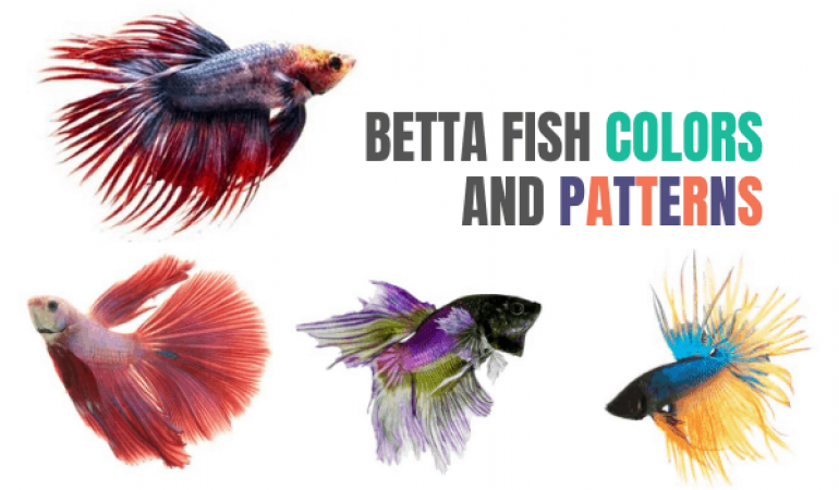 Betta Fish Color & Pattern Guide: Different Types & Rarest Combinations