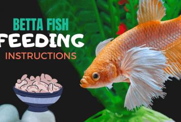 Betta Fish Feeding Instructions