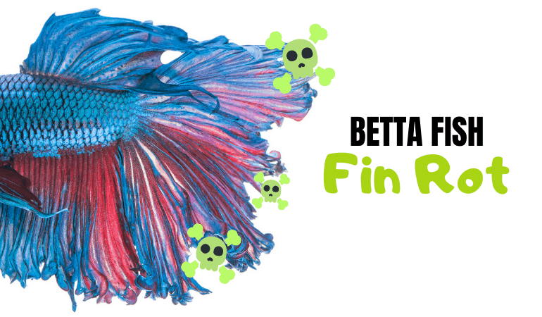 Betta Fin Rot Guide Symptoms How To Treat And Prevention