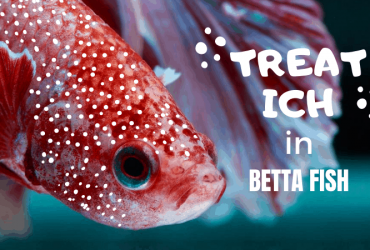 Betta Fish Ich Treatment