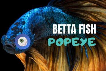 Betta Fish Popeye