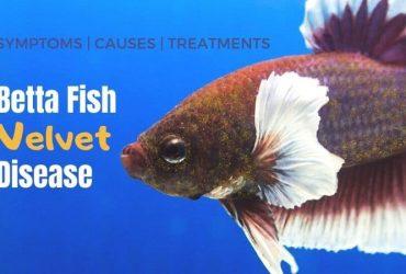 Betta Fish Velvet Disease – Symptoms, Cause & Treatment Guide