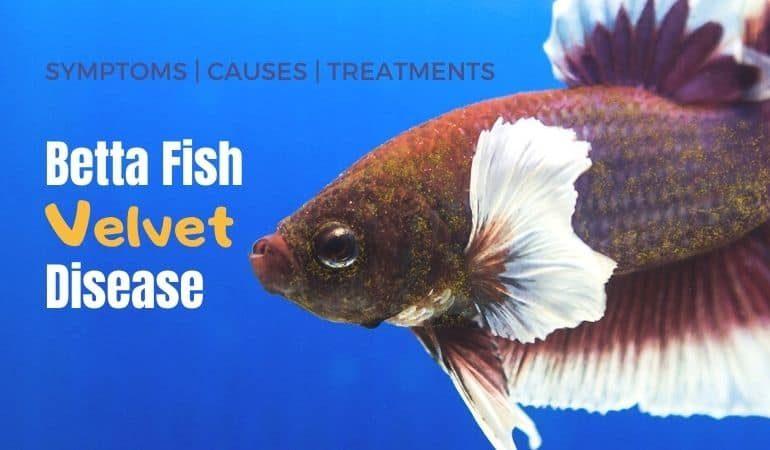 Velvet in Betta Fish: Disease Symptoms, Causes & How to Treat