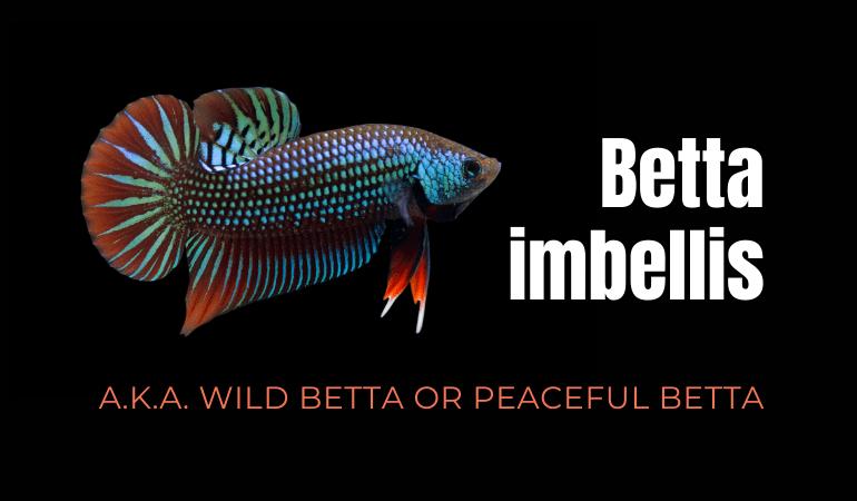 Peaceful Betta Imbellis Fish Species Care, Lifespan & Hybrids