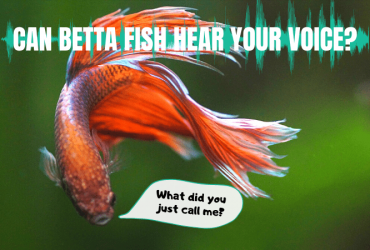 Can Betta Fish Hear Your Voice? Can They Recognize Their Owner's Voice?