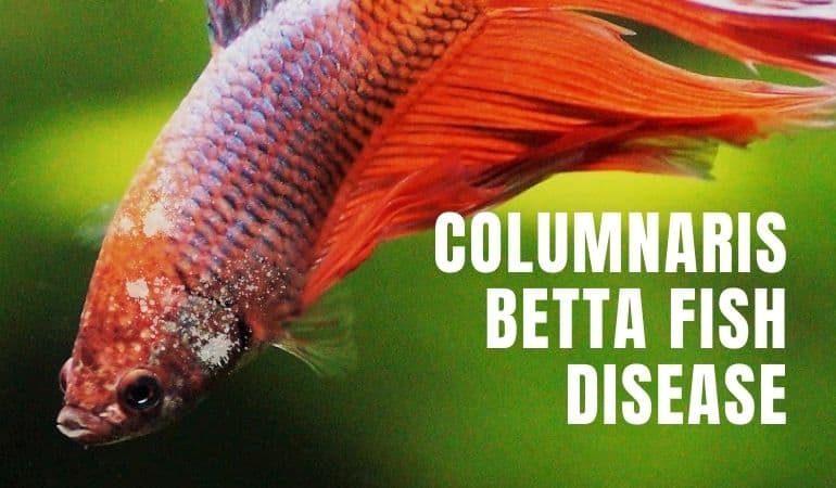 Columnaris Betta Fish Treatment Guide