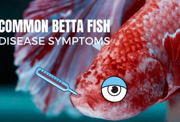 Common Betta Fish Disease Symptoms