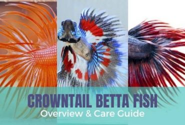 Crowntail Betta Overview & Care Guide