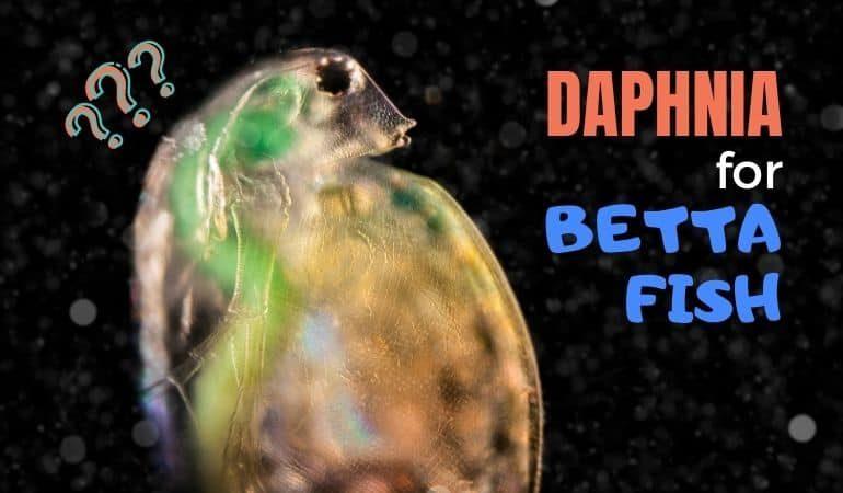 Daphnia for Betta Fish