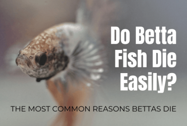 Do Betta Fish Die Easily? The most common reasons bettas die.