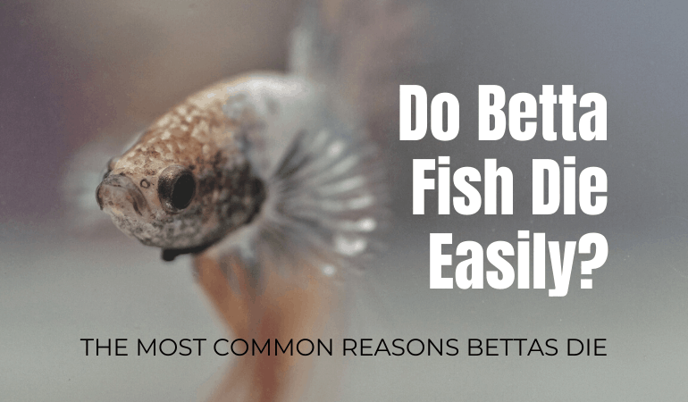 Do Betta Fish Die Easily? Know How To Tell If Your Betta Is Sick or Dying