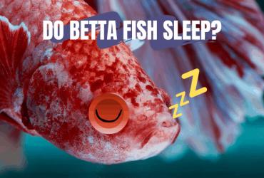 Do Betta Fish Sleep?