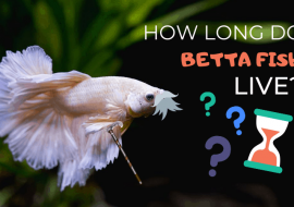 How Long Do Betta Fish Live As Pets? Tips to Maximize Their Lifespan in a Tank