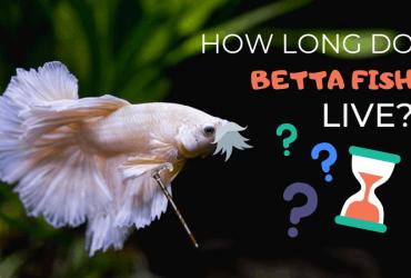 How Long Do Betta Fish Live?