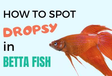 Dropsy in Betta Fish