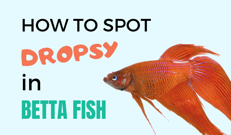 Betta Fish Dropsy (Bloated): Symptoms & Treatment for a Swollen Belly
