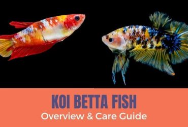 Koi Betta Fish