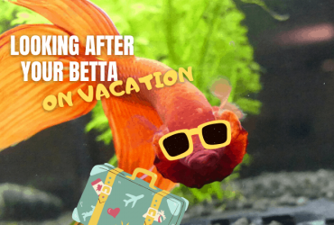 How do I look after my betta fish when I am on vacation?