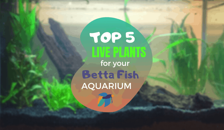Top 5 Live Plants for a Betta Fish Tank
