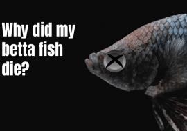 Dead Betta Fish – Why Did My Betta Fish Die?