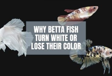 Why Is My Betta Fish Turning White / Losing Color? (and what to do about it)