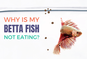 Why is my betta fish not eating?