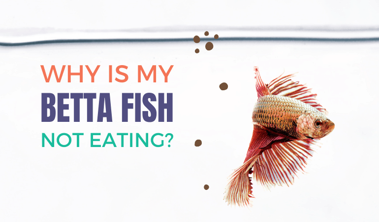 Betta Fish Isn't Eating Pellets? Here Are The Top 5 Reasons Plus Fixes