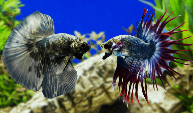 Betta Fish Fights – Everything you need to know.