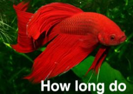 David gibbins for How long do betta fish live