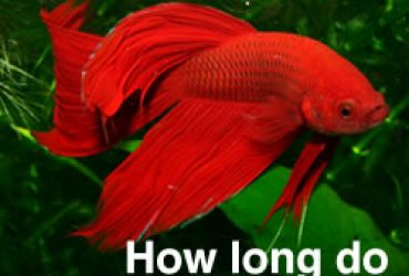 Guides for betta fish care japanese fighting fish blog for Do betta fish sleep