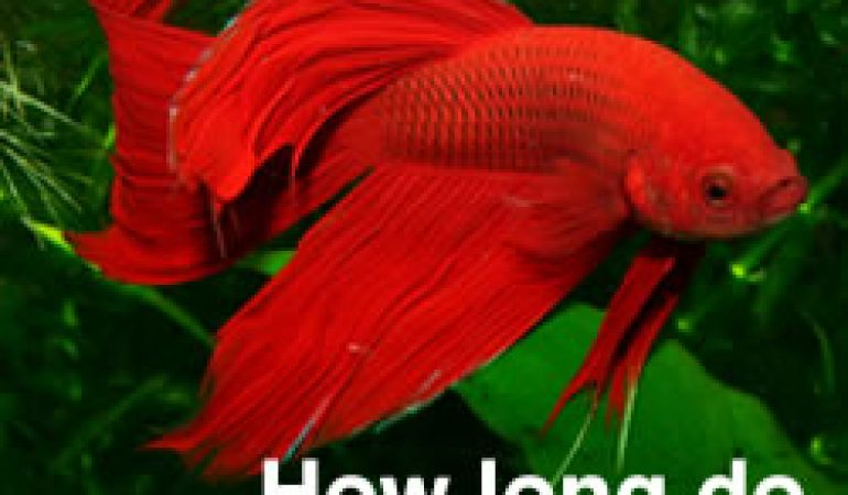 How long do betta fish live tips to increase your for What fish can live with goldfish