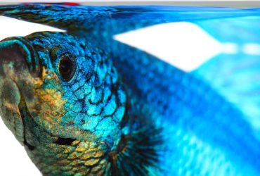 Betta Fish Water Guide