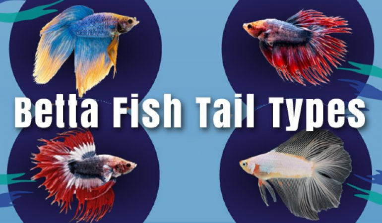 Betta fish tail types betta fish care for What fish can live with bettas