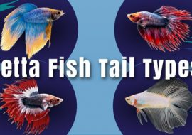 Betta Fish Tail Types: Guide on the Most Common & Different Varieties